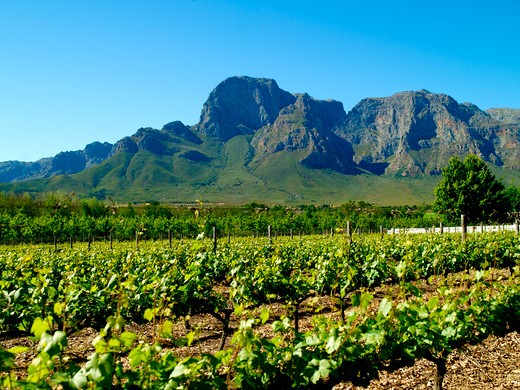 Stellenbosch Vineyards : Stock Photo