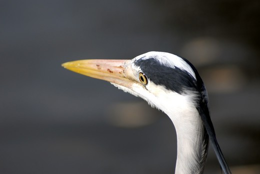 Heron In Regent's Park : Stock Photo
