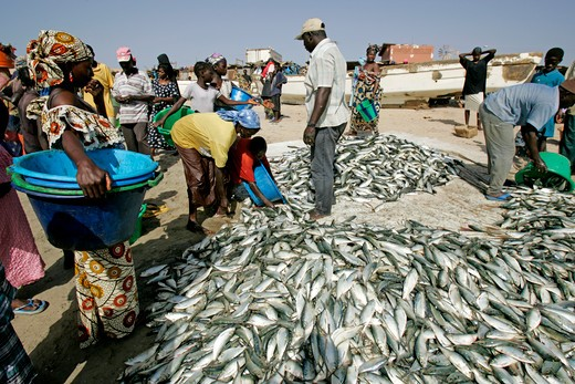 Stock Photo: 1840-25595 Gambia, Tange Beach, Fish Haul