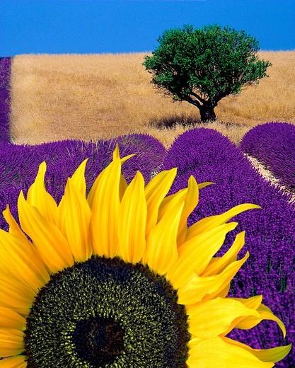 Stock Photo: 1840-33556 Provence: Sunflower & Lavender (Digital Art)