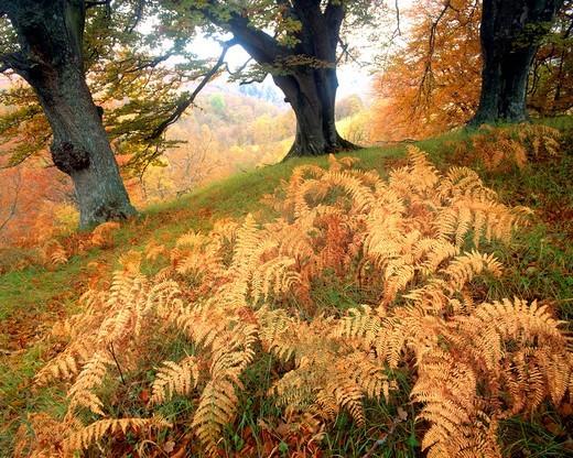 Tayside: Autumn Trees & Ferns : Stock Photo