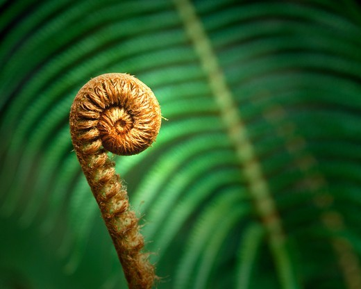 Stock Photo: 1840-35205 Big Fern On The Big Island