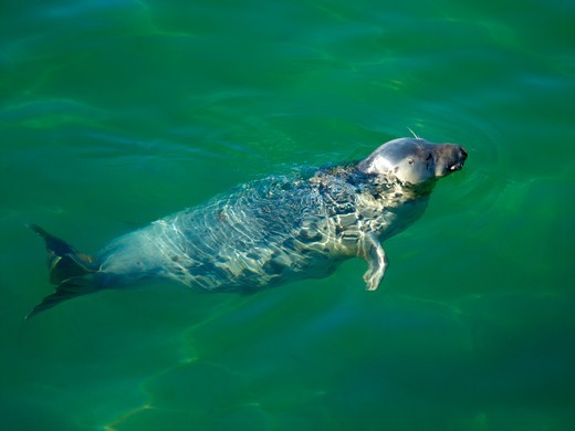 Grey Seal In Waters Around St Ives Cornwall : Stock Photo