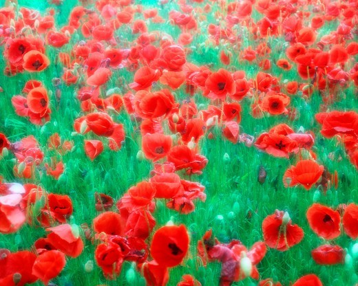 Flowers, Field of Poppies : Stock Photo