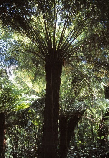 Stock Photo: 1840-39903 Tongariro National Park, Tree Ferns