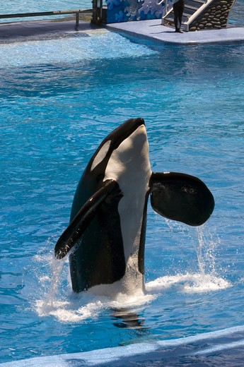 Killer-whale Show, Seaworld Theme Park : Stock Photo