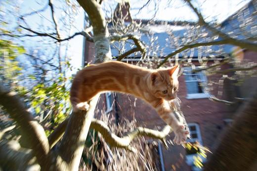 Stock Photo: 1840-6922 Domestic Kitten Jumping