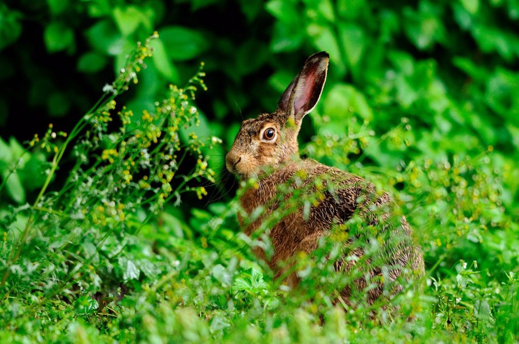 Stock Photo: 1841-100200 European Hare Lepus europaeus in meadow
