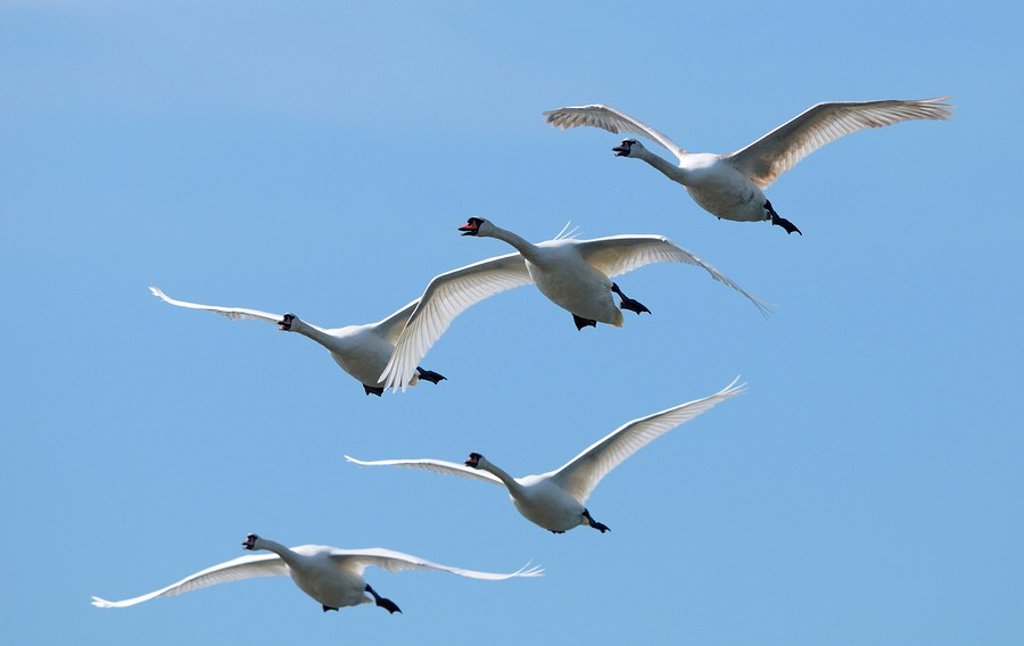 Flying Mute Swans Cygnus olor : Stock Photo