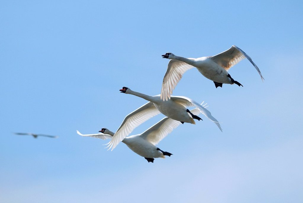 Stock Photo: 1841-100277 Flying Mute Swans Cygnus olor