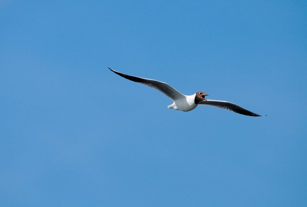 Black_headed Gull Larus ridibundus flying : Stock Photo