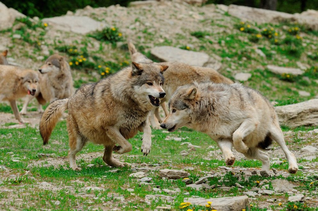 Aggressive pack of Wolves Canis lupus : Stock Photo