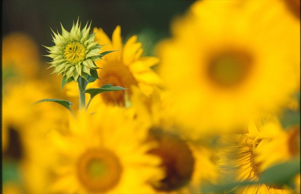 Close_up of blooming Sunflowers Helianthus annuus : Stock Photo