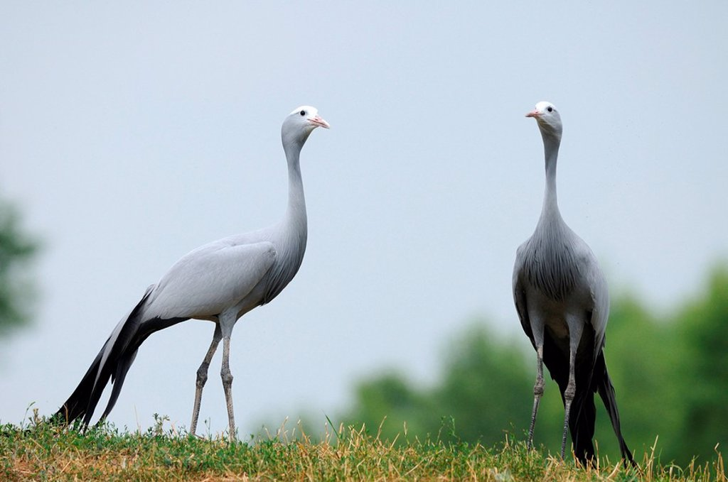 Two Blue Cranes Anthropoides paradiseus in a meadow : Stock Photo