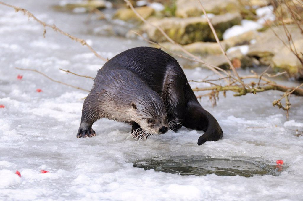 River Otter Lutra lutra on frozen river, Bavaria, Germany : Stock Photo