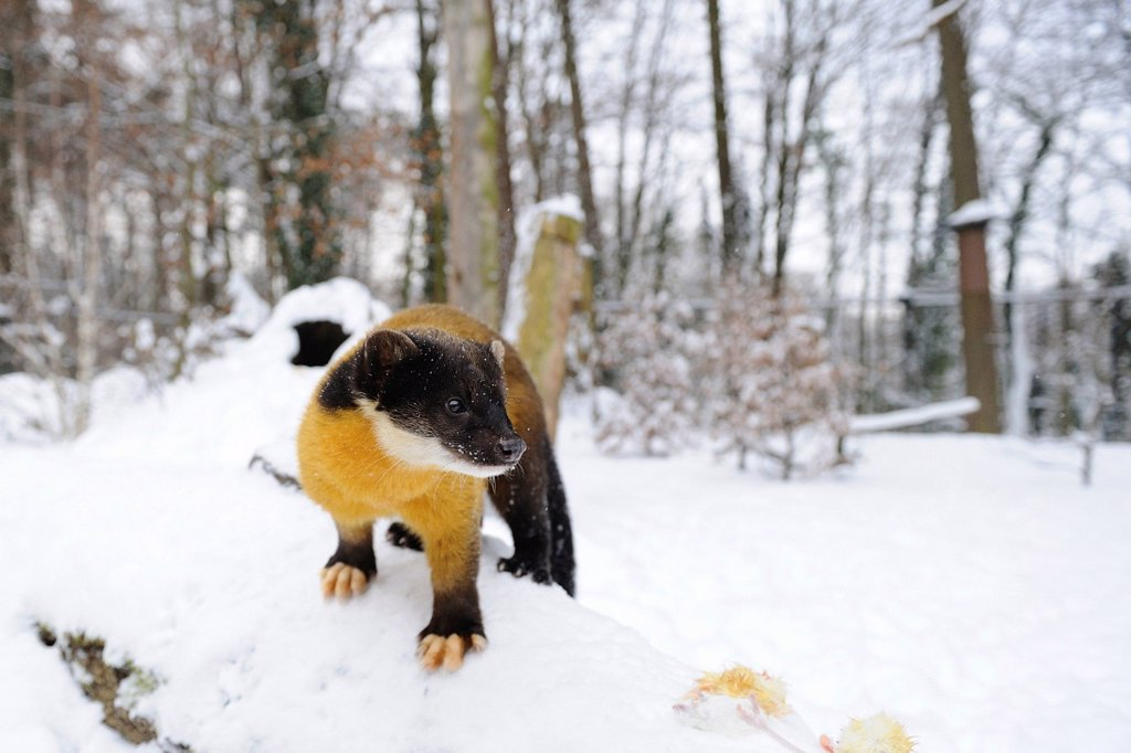 Yellow_throated Marten in snow : Stock Photo