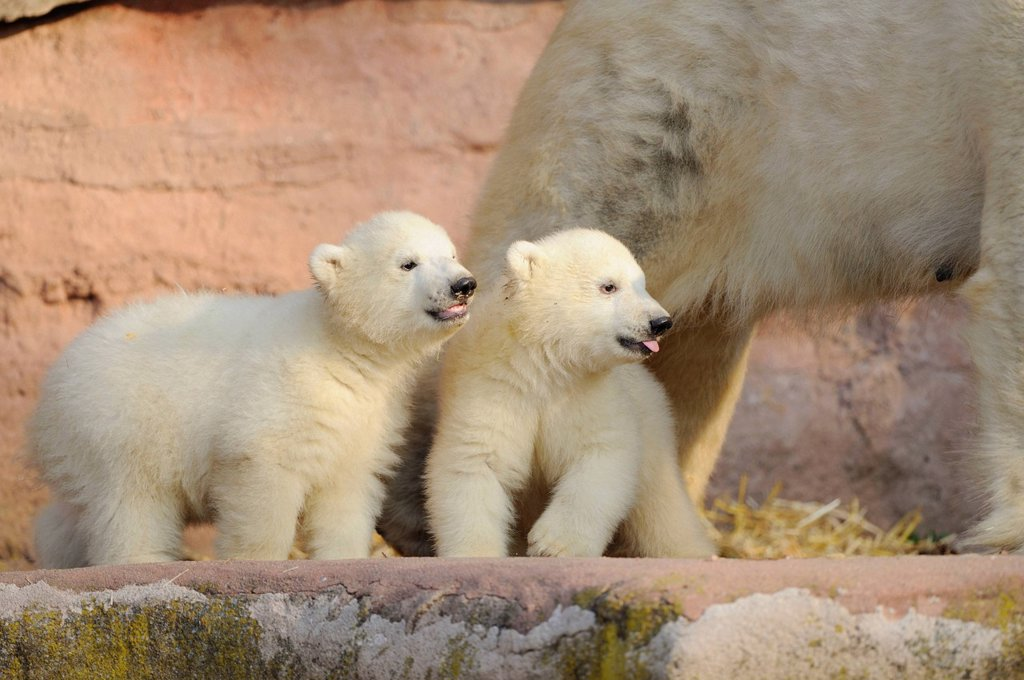 Two young polar bears and mother : Stock Photo