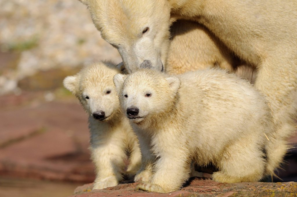 Stock Photo: 1841-110081 Young polar bears Ursus maritimus with mother
