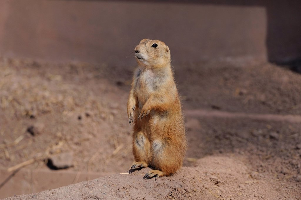 Stock Photo: 1841-110123 Standing Black_tailed prairie dog Cynomys ludovicianus