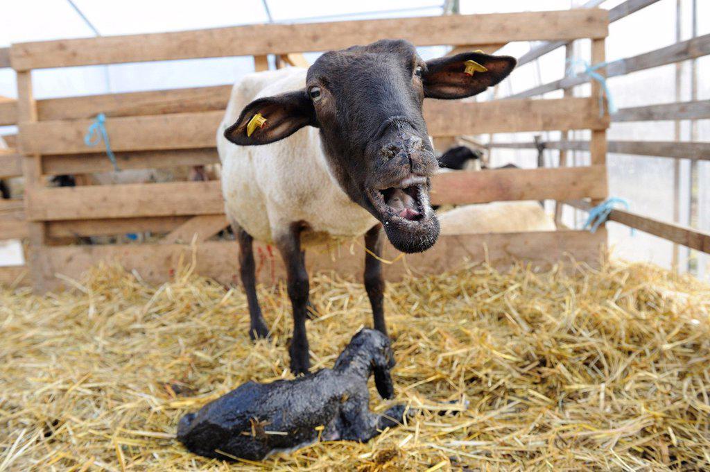 Stock Photo: 1841-110185 Suffolk sheep, mother with newborn lamb