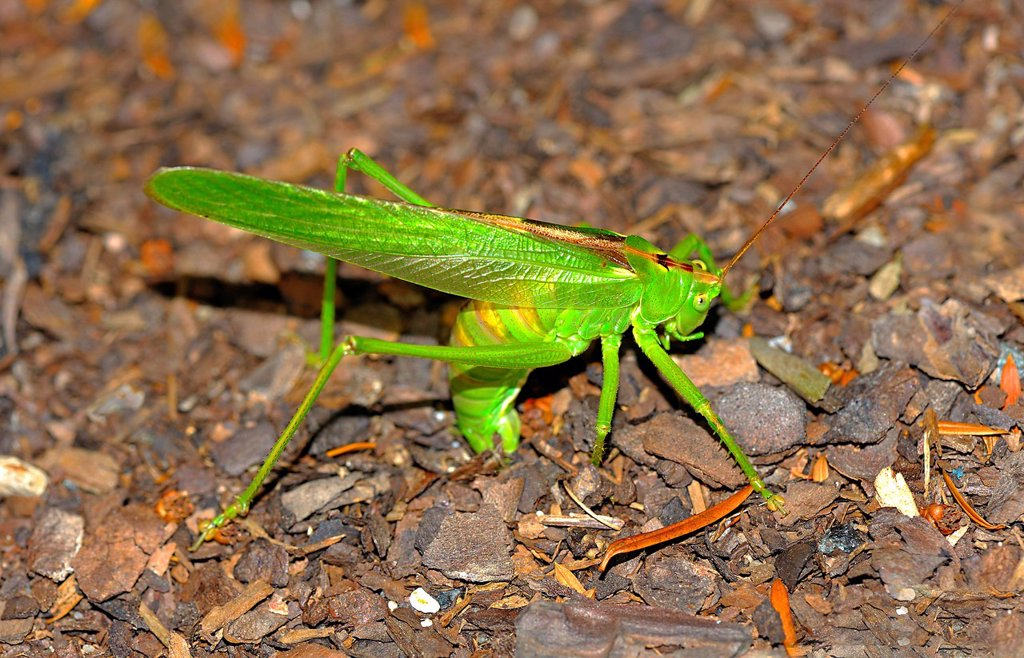 Stock Photo: 1841-110309 Grasshopper at oviposition