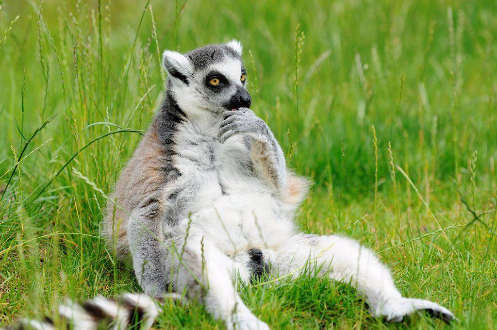 Ring_tailed lemur, Lemur catta, at zoo, Augsburg, Bavaria, Germany, Europe : Stock Photo