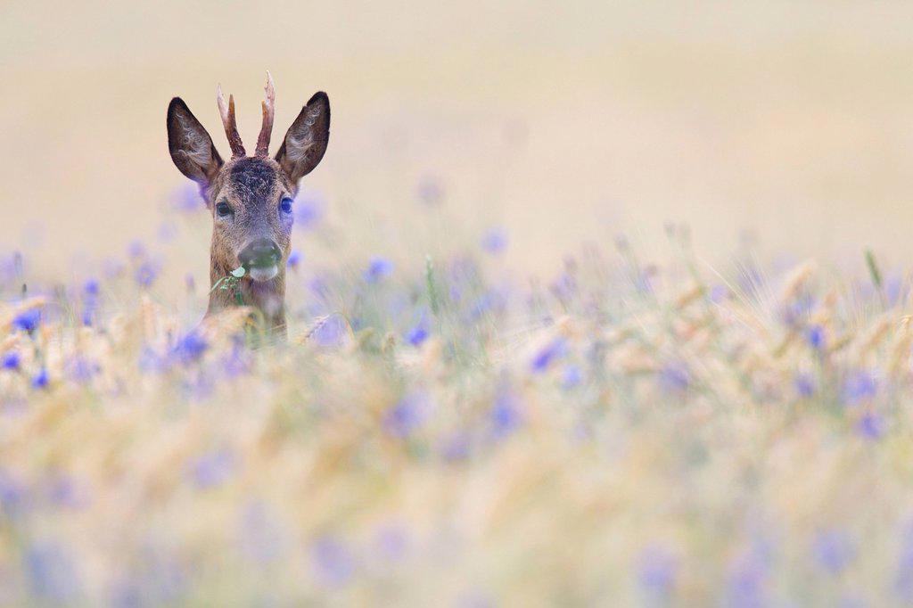 Roe buck, Schleswig_Holstein, Germany, Europe : Stock Photo