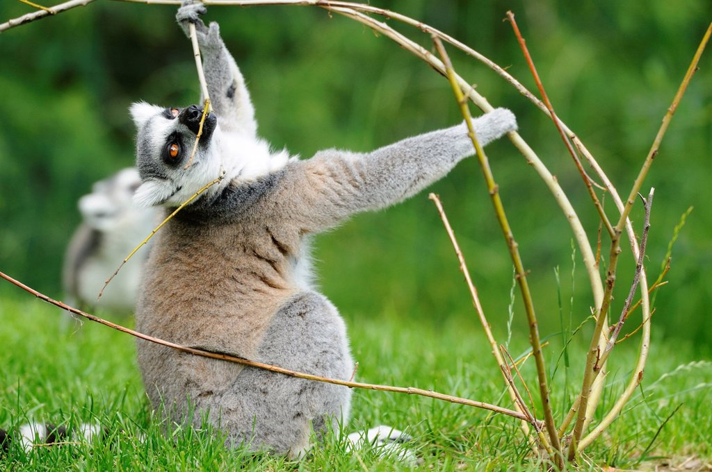 Ring_tailed lemur, Lemur catta, at zoo, Augsburg, Bavaria, Germany, Europe : Stock Photo