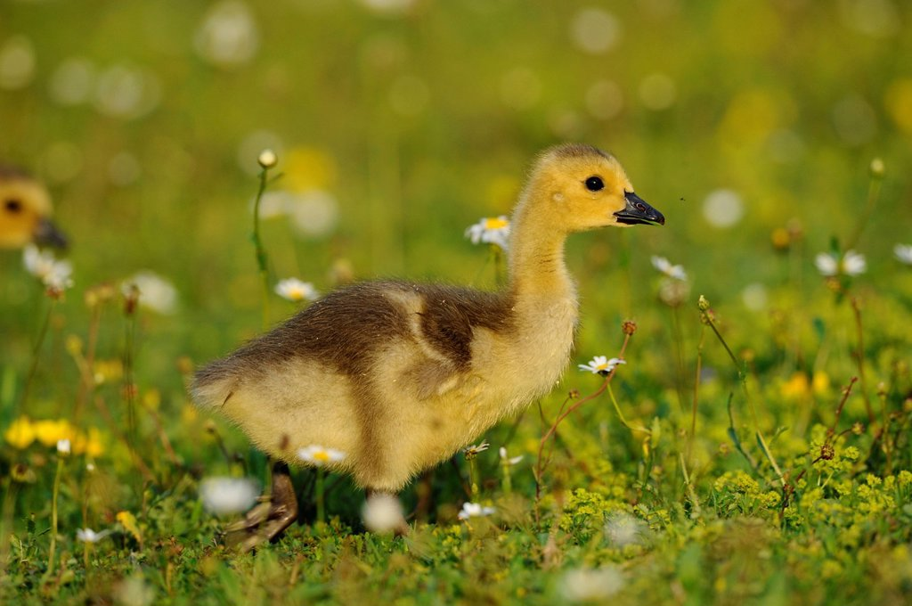 Stock Photo: 1841-114879 Goose chick, Branta canadensis, Bavaria, Germany, Europe