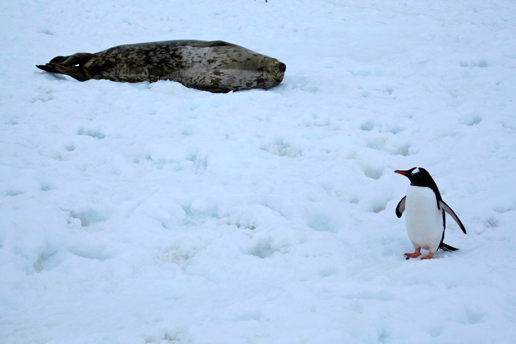 Stock Photo: 1841-115454 Gentoo Penguin and Weddell Seal on an icefield, Neko Bay, Antarctica