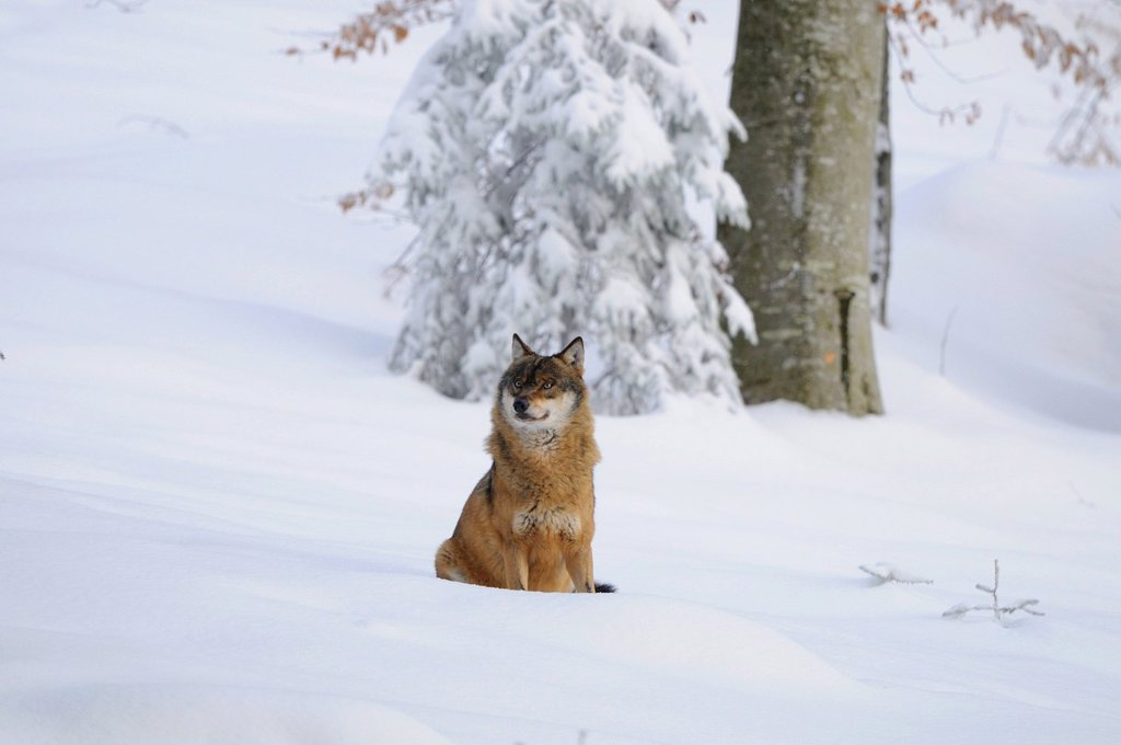 Stock Photo: 1841-116064 Gray Wolf Canis lupus in snow