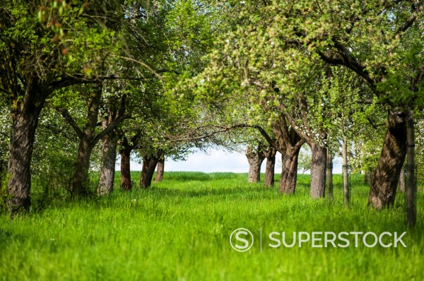 Stock Photo: 1841-118043 Blossoming apple trees on meadow