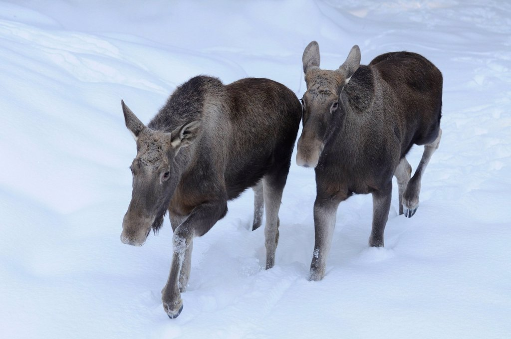 Two Moose Alces alces in snow : Stock Photo