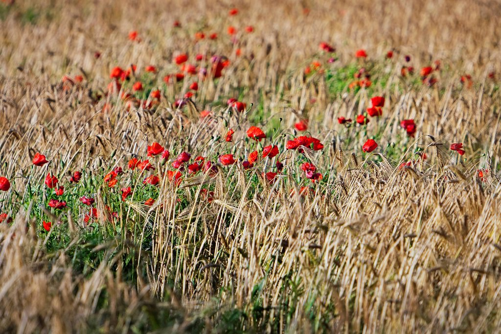 Stock Photo: 1841-118595 Barley field with blossoming corn poppy