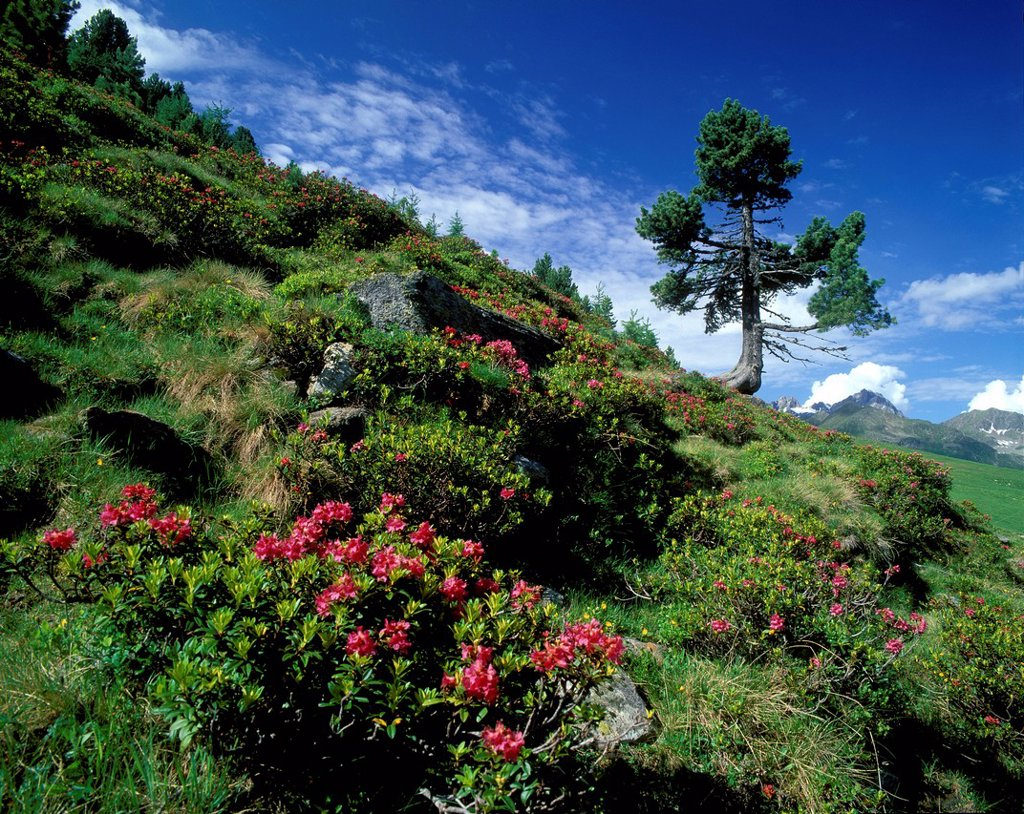 Stock Photo: 1841-118917 Swiss Pine and flowers in alpine landscape, Kuehtai, Austria