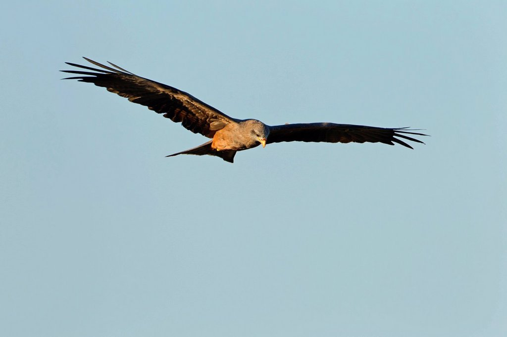 Stock Photo: 1841-119282 Bird of prey flying
