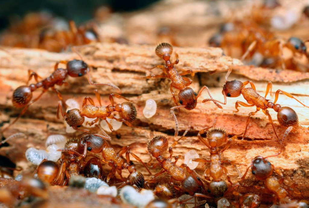 Stock Photo: 1841-119371 Nest of Myrmica scabrinodis