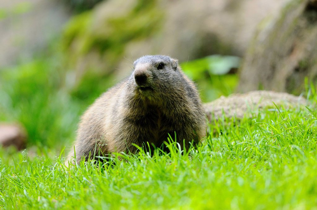 Young Alpine Marmot Marmota marmota in grass : Stock Photo