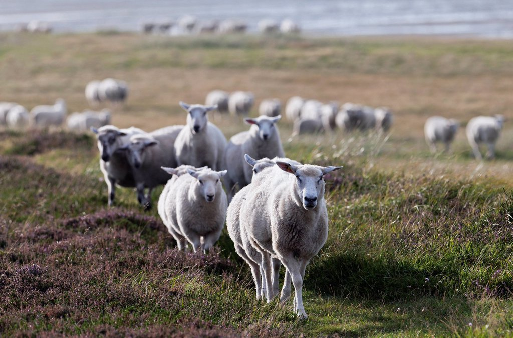 Stock Photo: 1841-120067 Flock of sheep, Sylter Ellenbogen, Sylt, Schleswig_Holstein, Germany, Europe