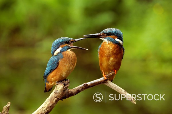 Stock Photo: 1841-120400 Two kingfishers on a branch