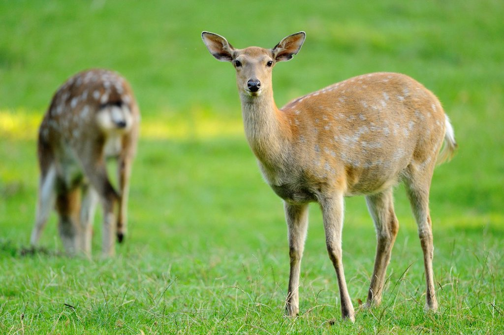Stock Photo: 1841-120622 Sika Deer Cervus nippon standing in meadow