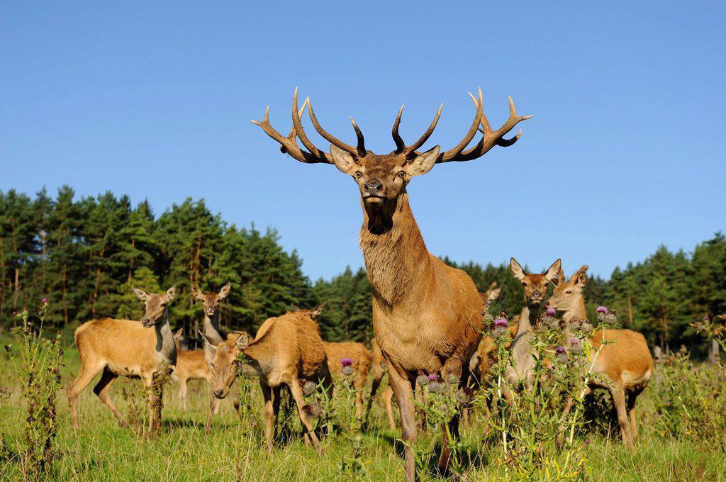 Male Red Deer Cervus elaphus with herd in field, Bavaria, Germany : Stock Photo