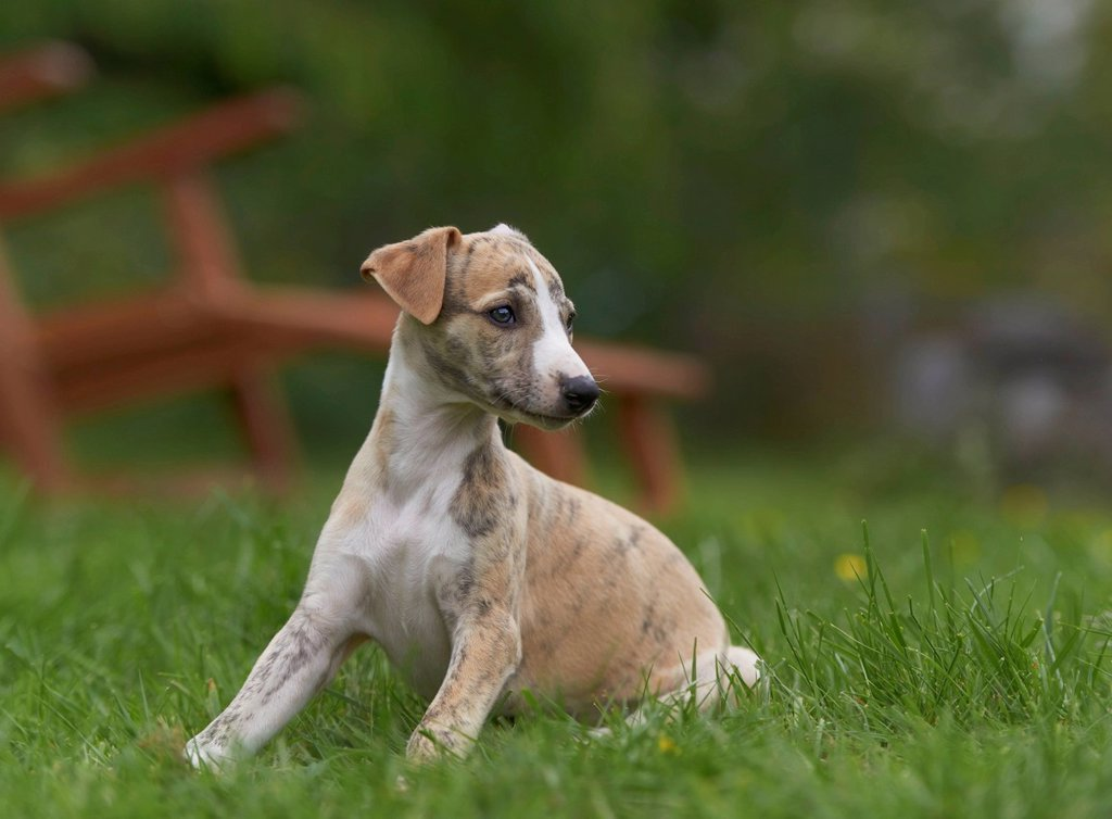 Whippet puppy on meadow : Stock Photo