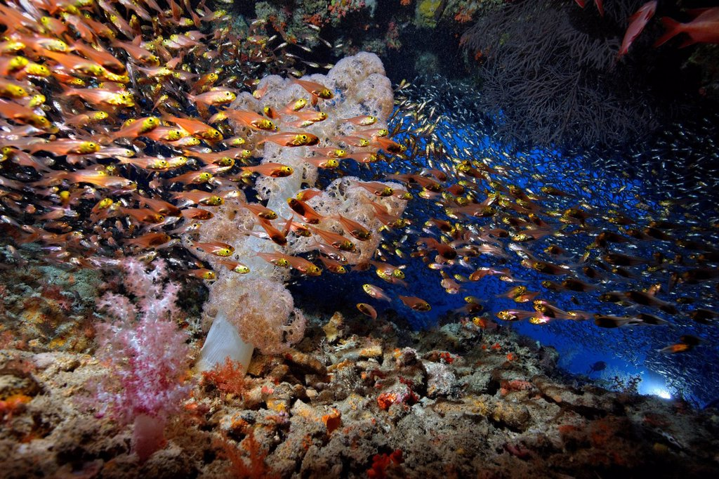 Stock Photo: 1841-123606 School of Pygmy sweeper Parapriacanthus ransonneti at soft coral and cave, Baa Atoll, Maldives, underwater shot