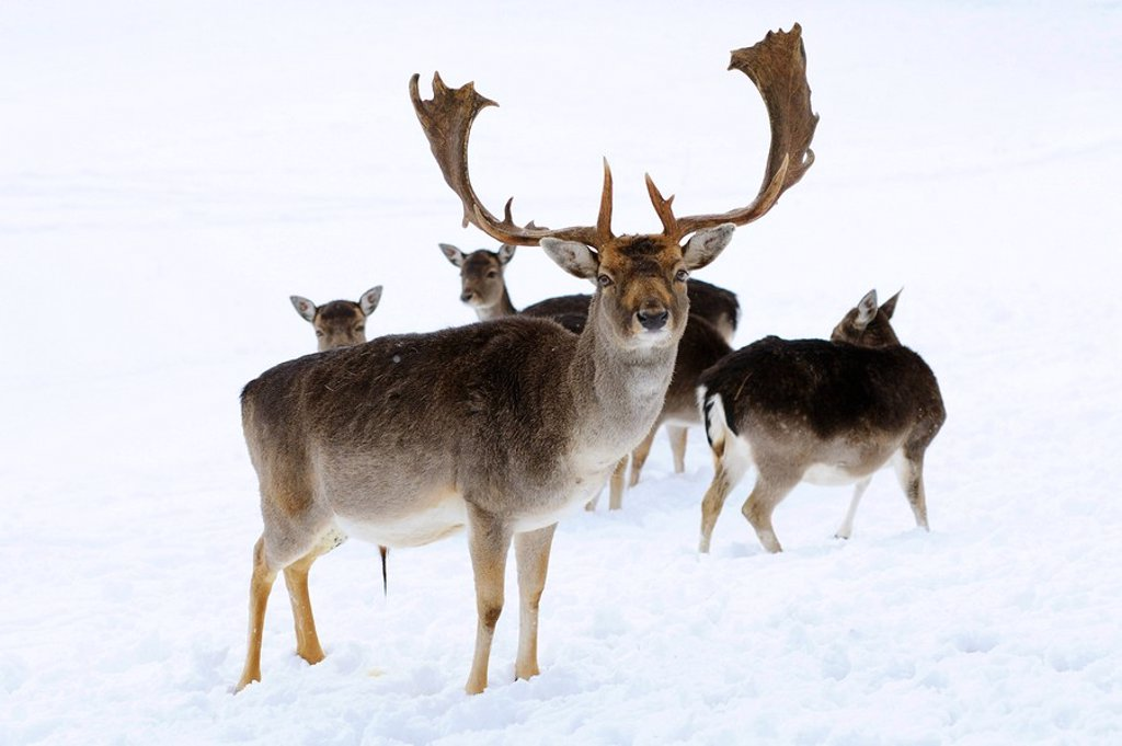 Stock Photo: 1841-12372 Fallow deers Ovis orientalis musimon in the snow, Bavaria, Germany
