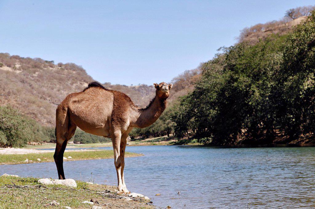 Stock Photo: 1841-124379 Dromadar standing at river in the Wadi Derbat, Oman