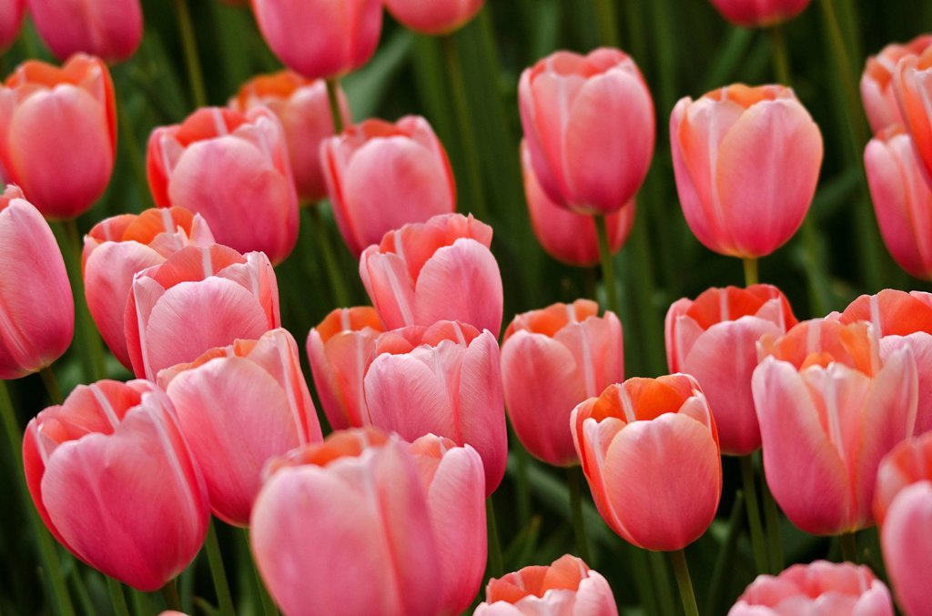 Stock Photo: 1841-124471 Pink tulips on a field