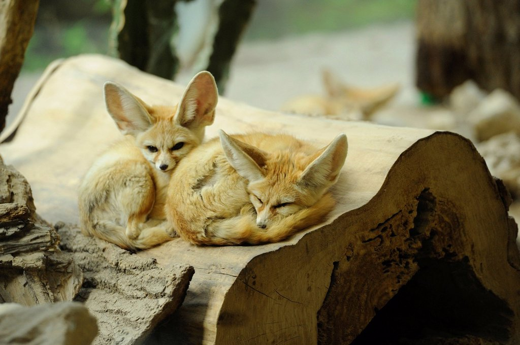 Two Fennec foxes in Augsburg Zoo, Bavaria, Germany : Stock Photo