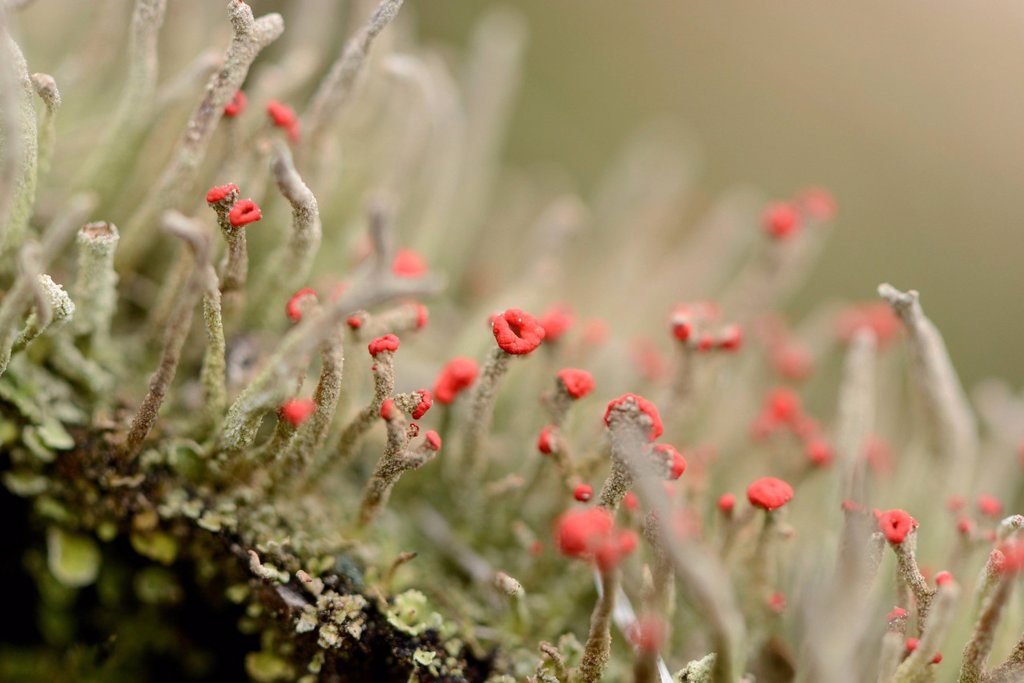 Stock Photo: 1841-127753 Lichen Cladonia coccifera, close-up