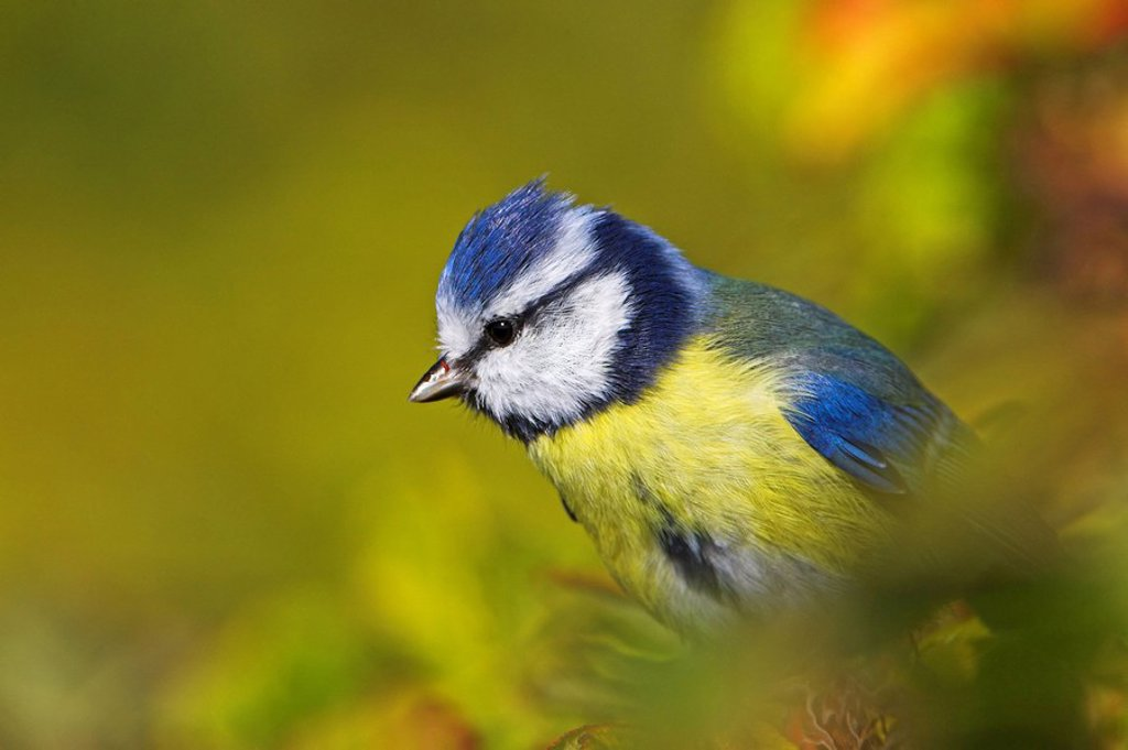 Close_up of Blue Tit Cyanistes caeruleus perching on tree : Stock Photo